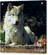 Gray Wolf ... Montana Art Photo Acrylic Print