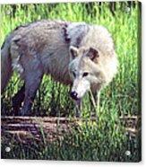 Gray Wolf Watching Acrylic Print