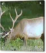 Grazing Bull Elk  Acrylic Print