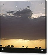 Grazing Cattle Silhouetted Acrylic Print