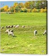 Grazing Sheep On Farm In Autumn Maine Acrylic Print