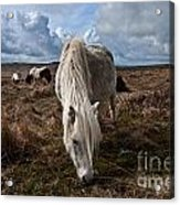 Grazing The Moor Acrylic Print