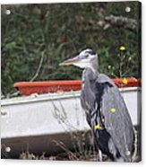 Great Blue Heron - Chicken Of The Sea Acrylic Print