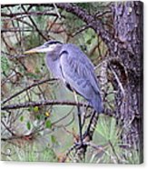 Great Blue Heron - Happy Place Acrylic Print