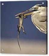 Great Blue Heron Ardea Herodias Preying Acrylic Print