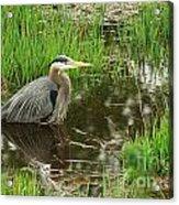 Great Blue Heron At The Marsh Acrylic Print