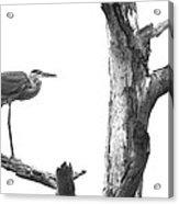 Great Blue Heron - Dead Pine Acrylic Print