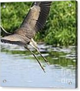 Great Blue Heron Escape Acrylic Print