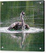 Great Blue Heron Having A Bath Acrylic Print