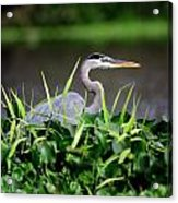 Great Blue Heron Hiding In The Grasses Acrylic Print