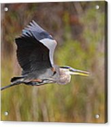 Great Blue Heron In Flight II Acrylic Print