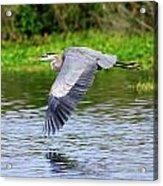 Great Blue Heron Inflight Acrylic Print