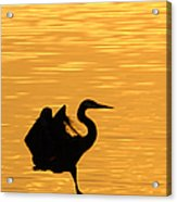 Great Blue Heron Landing In Golden Light Acrylic Print