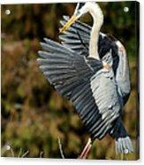 Great Blue Heron Landing Acrylic Print