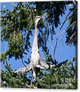 Great Blue Heron Meditation Pacific Northwest Acrylic Print