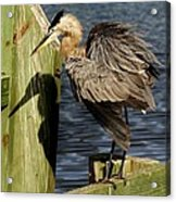 Great Blue Heron On The Block Acrylic Print