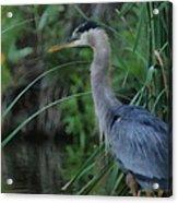 Great Blue Heron Painterly Acrylic Print