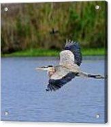 Great Blue Heron Soaring Acrylic Print