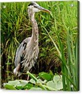 Great Blue Heron Walking Acrylic Print