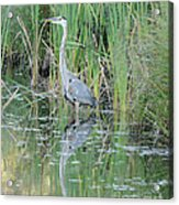 Great Blue Heron With Reflection Acrylic Print