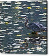 Great Blue Heron With Snack Acrylic Print
