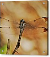 Great Blue Skimmer 8703 3326 Acrylic Print