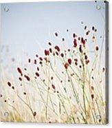 Great Burnet Flowers Acrylic Print