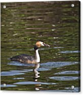 Great Crested Grebe With Breakfast Acrylic Print