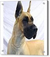 Great Dane 253 Acrylic Print