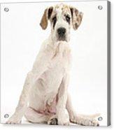 Great Dane Pup Acrylic Print