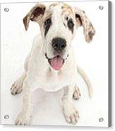 Great Dane Puppy Acrylic Print
