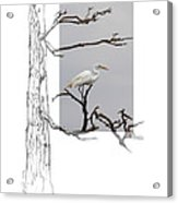 Great Egret - Gnarled Tree Acrylic Print