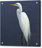 Great Egret 2 Acrylic Print