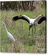 Great Egret And Wood Stork In The Marsh Acrylic Print