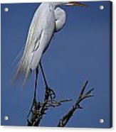 Great Egret, Casmerodius Albus, Perched Acrylic Print by John Cancalosi