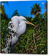 Great Egret In A Tree Acrylic Print