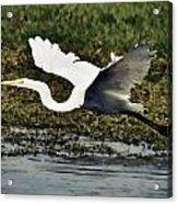 Great Egret In Flight  Acrylic Print