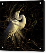Great Egret In Great Light Acrylic Print