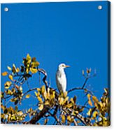 Great Egret On Watch Acrylic Print