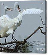 Great Egret Pair Acrylic Print