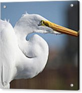 Great Egret Portrait Acrylic Print