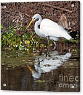 Great Egret Searching For Food In The Marsh Acrylic Print