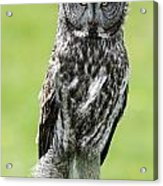 Great Grey Owl, Water Valley, Alberta Acrylic Print