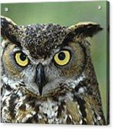 Great Horned Owl Bubo Virginianus Acrylic Print