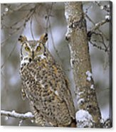 Great Horned Owl In Its Pale Form Acrylic Print by Tim Fitzharris