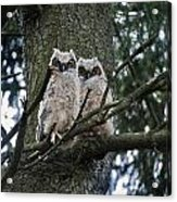 Great Horned Owls Young Acrylic Print