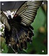 Great Mormon Butterfly Acrylic Print
