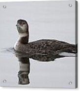Great Northern Diver Acrylic Print