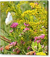 Great Southern White Butterfly Likes The Pink Flowers Acrylic Print