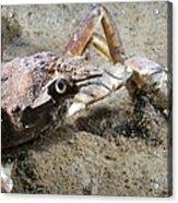 Great Spider Crab Acrylic Print